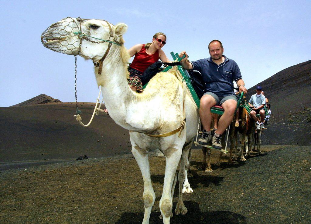 Kurze Südtour Lanzarote - Dromedarreiten