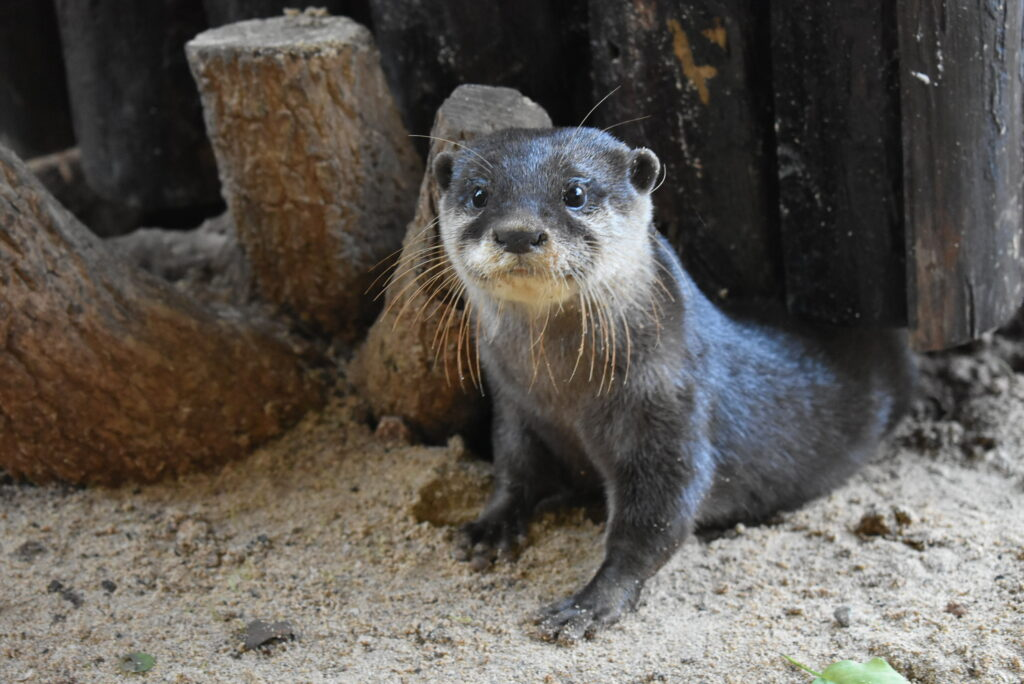 Seeotter Lanzarote