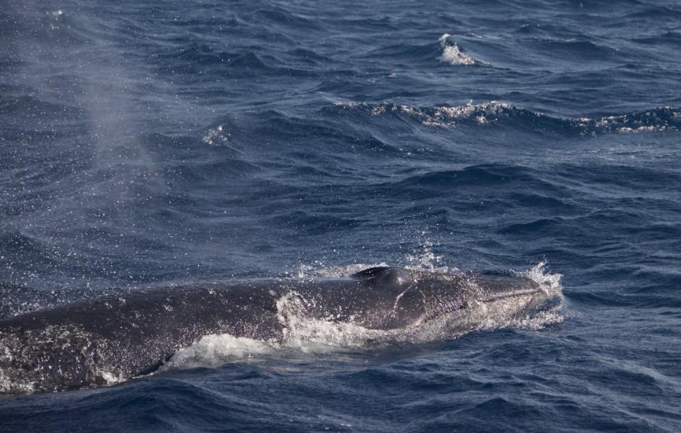 Wale vor Lanzarote